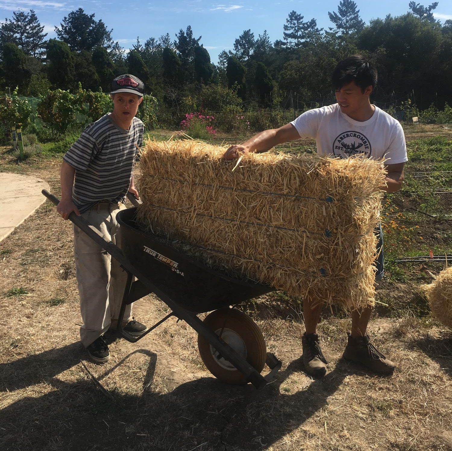 two men are moving a large hay bail with a wheelbarrow